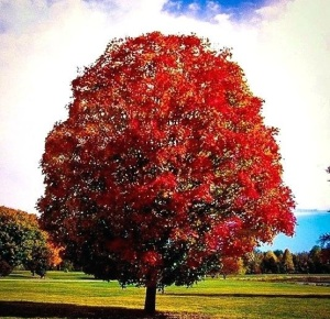 flame-maple-tree-autumn-blaze-almost-at-peak-amur-pruning-florida-red