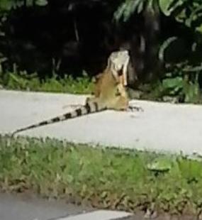 A moderate-sized iguana